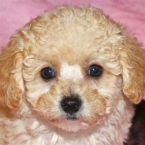 poodle for sale poodle puppy for sale