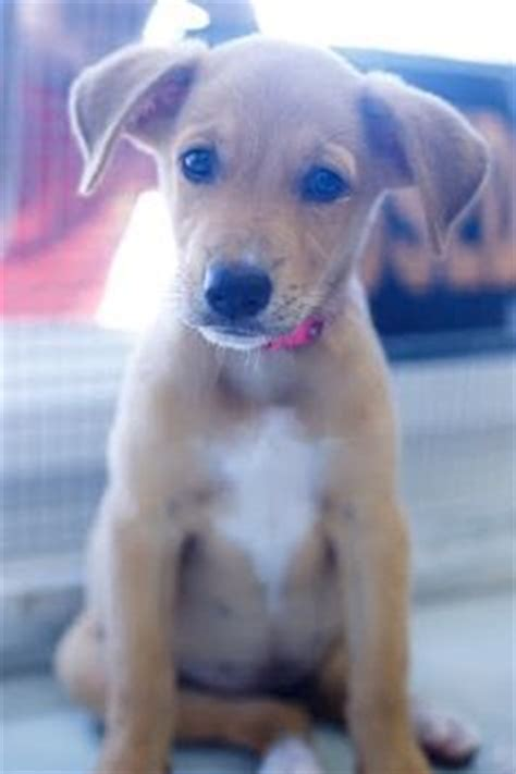 potcake puppies adopt potcake cuties on dogs tans and make a difference