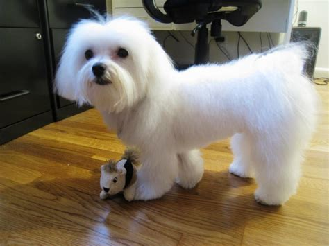dog cut styles maltese dog haircuts styles pictures