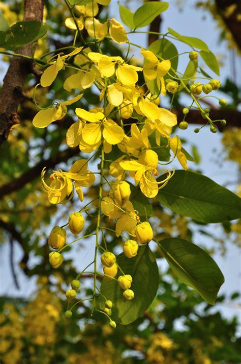 buy cassia fistula yellow amaltas ornamental plants