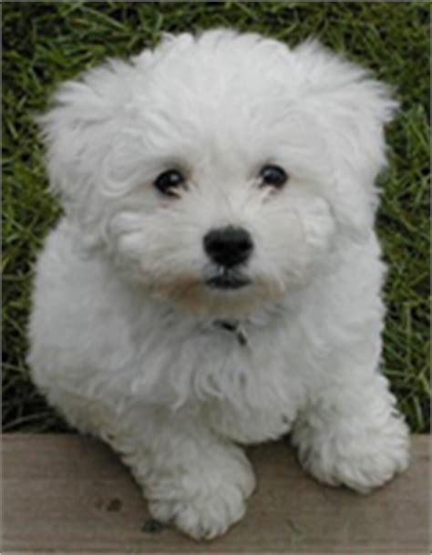Bich Poo Also Known As Poochon Bichpoo Bichon Poodle | bich poo also known as poochon bichpoo bichon poodle