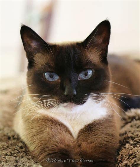 google images cats 1000 ideas about snowshoe on pinterest cat breeds