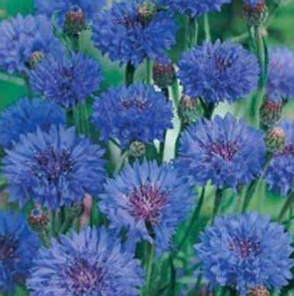bibit benih cornflower blue jual tanaman hias