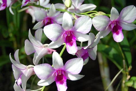 Wallpaper Bunga Anggrek Hd | gambar bunga anggrek paling indah gambar foto wallpaper