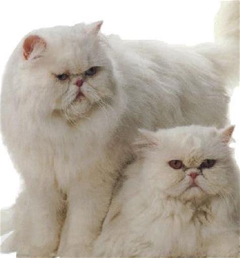 gatti persiani bianchi persiano bianco