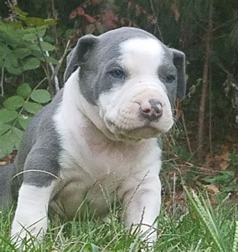 pitbull puppies for sale in ms american pit bull terrier puppies for sale fulton ms 246971