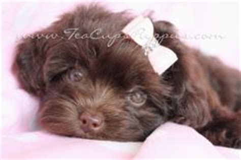 yorkie poo for sale houston everyone needs a yorkie poo like my obi for the home puppys yorkies