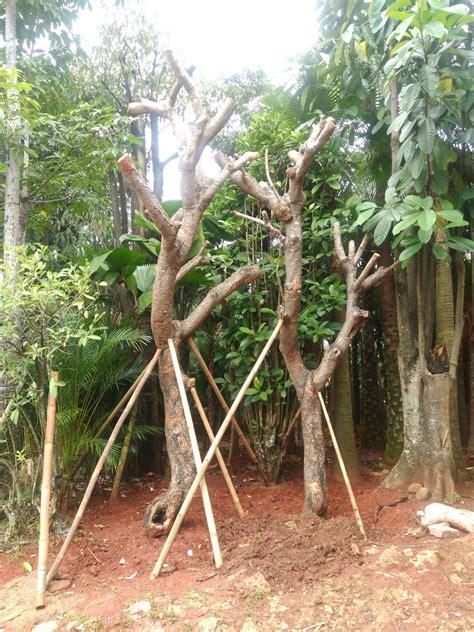 jual pohon kamboja fosil pohon kamboja bali pohon
