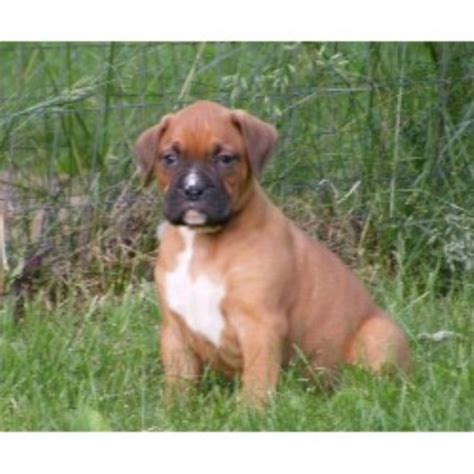boxer puppies wisconsin boxer breeders in wisconsin freedoglistings