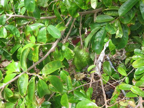 graviola tree fruit where to buy where to buy soursop tree exiire