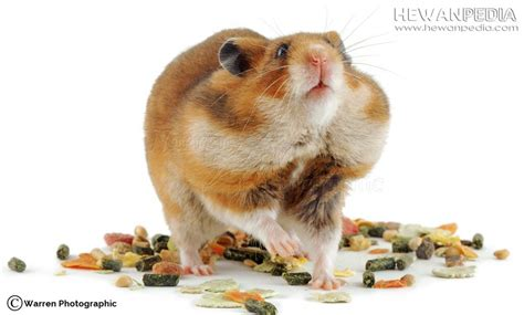 Makanan Hamster Kuaci cara meracik makanan hamster yang baik hewanpedia