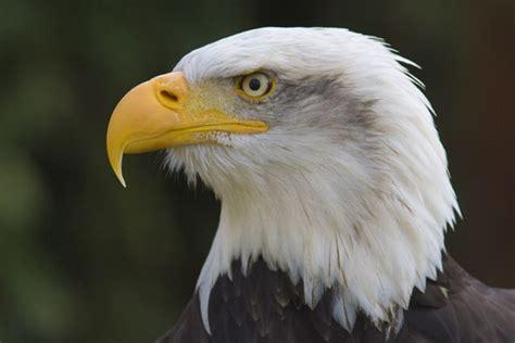 Google Images Eagle | eagles national bird google search eagles pinterest