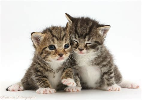Baby Cat baby tabby kittens photo wp42078