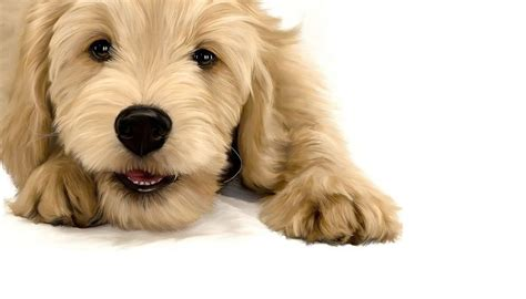 goldendoodle puppy ear infection 17 best images about doggies on poodles