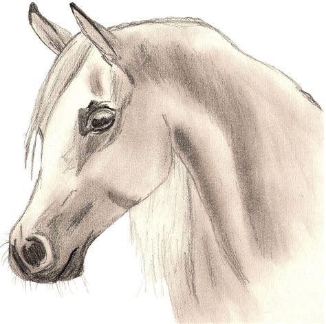 Sketches Horses by Arabian Drawing Photo 22114114 Fanpop