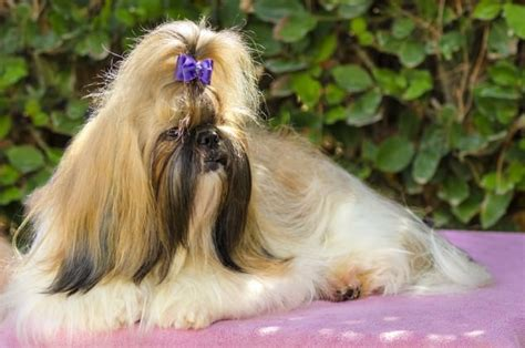 shih tzu stages golden locks 7 must groom stages for your pup show