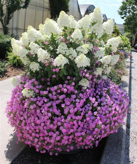 Top Ten Shrubs For Containers And Small Gardens Proven Flowering Shrubs For Small Gardens