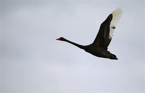 black swan wing www pixshark com images galleries with