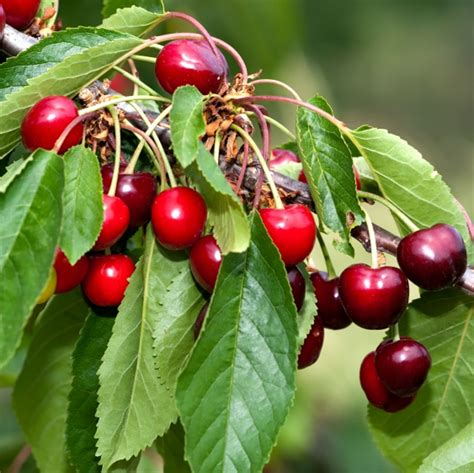 cherry trees fruit trees for pots ornamental trees