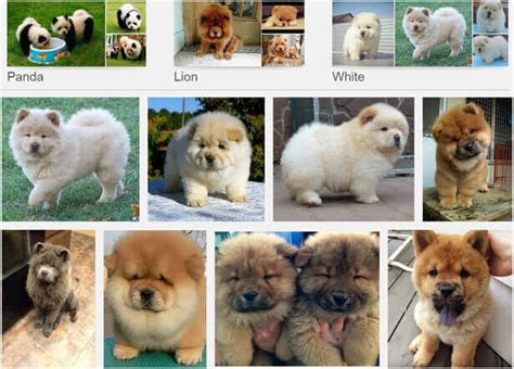panda chow chow puppies panda chow chow puppy www pixshark images galleries with a bite