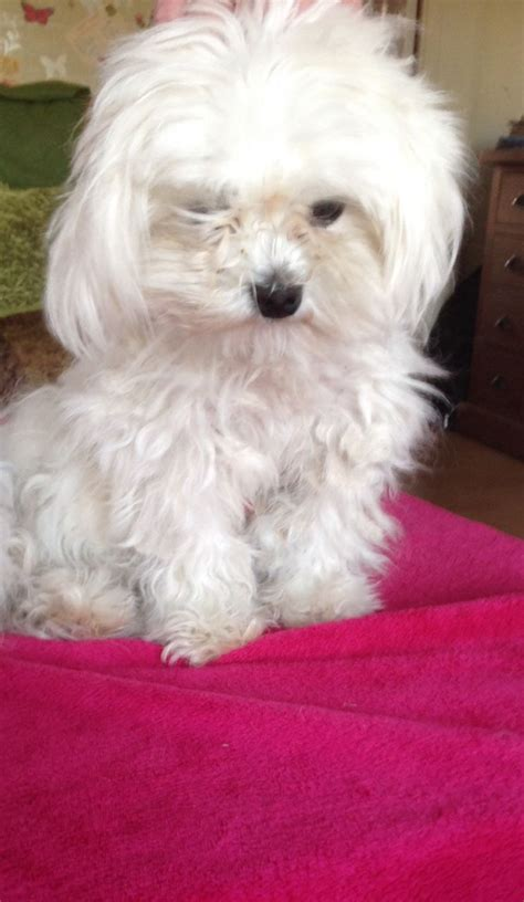 shih tzu maltese for sale maltese x shih tzu for sale uckfield east sussex pets4homes