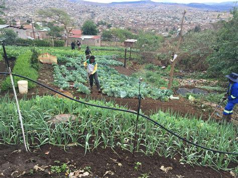 dumpsite   vegetable garden  south africa