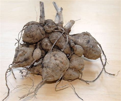 Potong The Roots dahlia tuber mintlove s