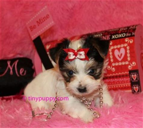 teacup yorkie akc akc parti yorkie tiny kisses tinypuppy