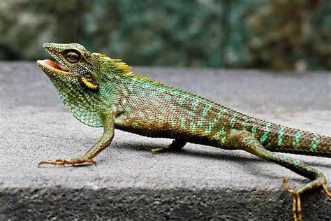 gecko change color best 25 colorful lizards ideas on lizards