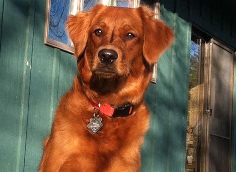 golden retriever rescue uk south east golden retriever breeder east bethel mn dogs our friends photo