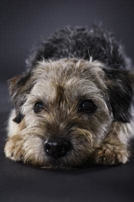 Types Of Wire Haired Dogs by Types Of Wire Hair Terriers Pets