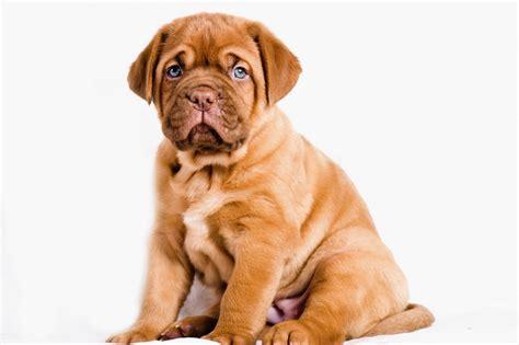de bordeaux puppies dogue de bordeaux puppies for sale from dogue de bordeaux design bild
