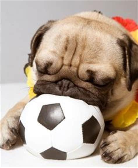 soccer pugs d o g s p u g a l i c i o u s just delicious on pugs pugs and