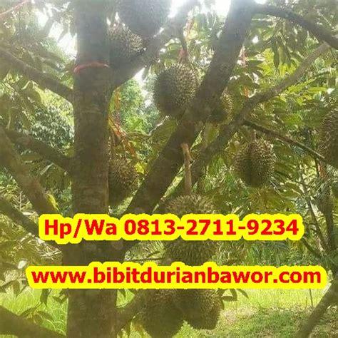 bibit durian bawor bibit durian bhineka bawor durian