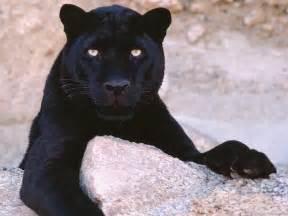 imagenes negras chidas felinos la pantera negra