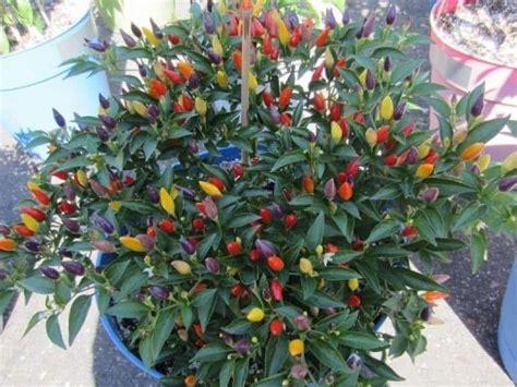 tanaman hias buah  digemari bibit
