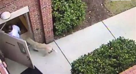 door swings shut video captures coyote following doctor into office news