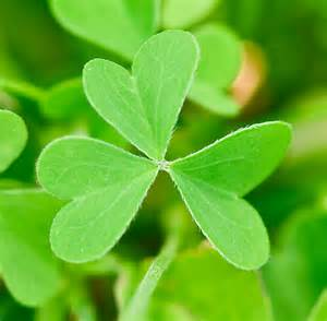 plant a day common yellow oxalis naturally speaking