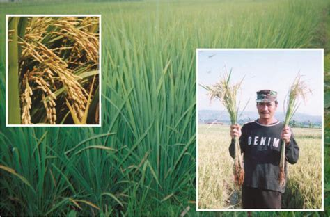 Pupuk Organik Cair Digrow pupuk cair di grow aplikasi pupuk d i grow pada padi sawah