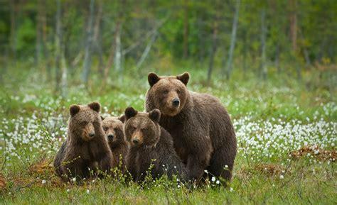 imagenes de la familia de osos banco de im 225 genes para ver disfrutar y compartir las