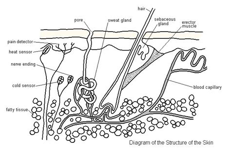 skin anatomy diagram labeled skin glands