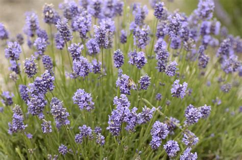 lavender angustifolia thumbelina leigh fairweathers