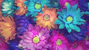colorful daisies colorful flowers pink blue orange background