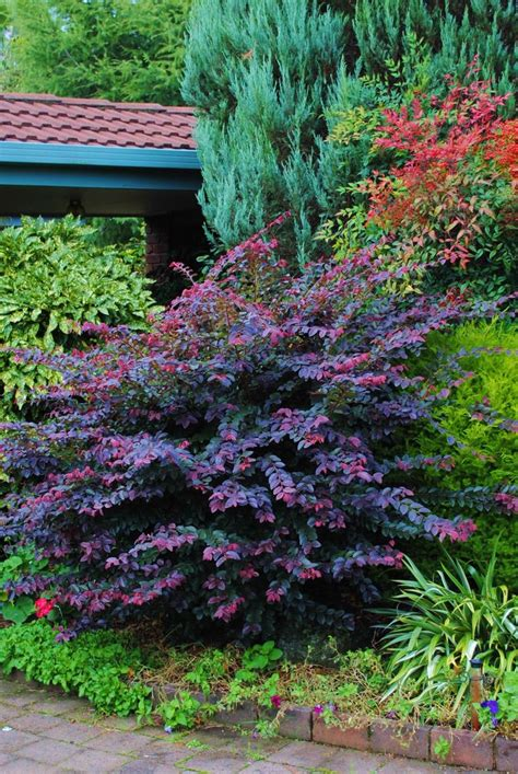 dwarf shrubs evergreen loropetalum purple prince the color on this shrub can add contrast against light colors