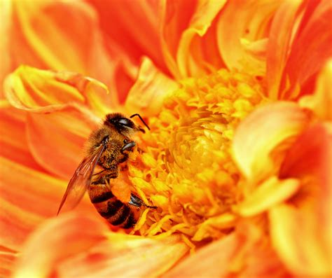file honey bee takes nectar jpg wikimedia commons