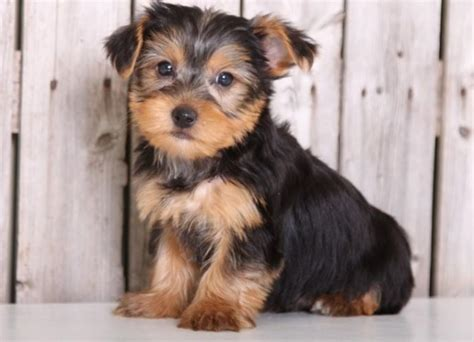 teacup yorkie breeders in ky teacup terrier puppies for sale louisville breeds picture