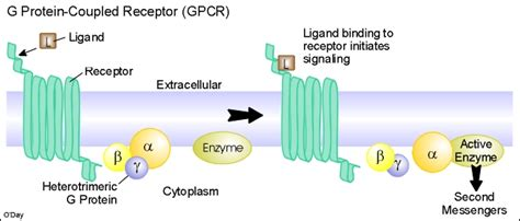 g protein coupled receptor steps g protein coupled receptors teaching biology