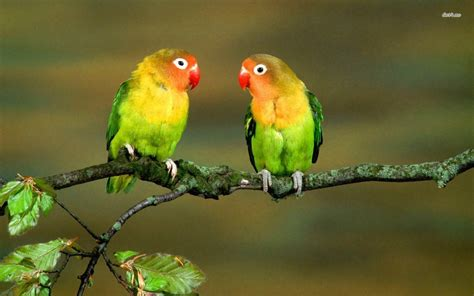 picture of love bird wallpaper hd wide birds pics litle pups lovebirds wallpapers wallpaper cave