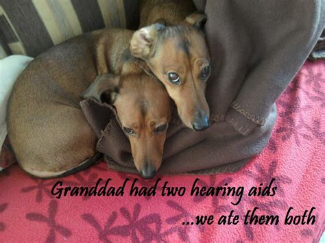 hearing aids for dogs hearsaylw quot i ate my owner s hearing aid quot barked fluffy