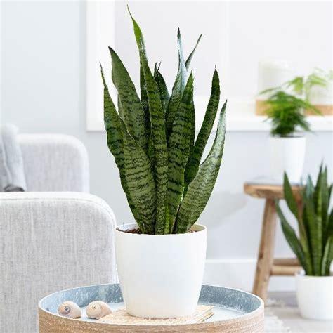 sansevieria trifasciata snake plant green plant
